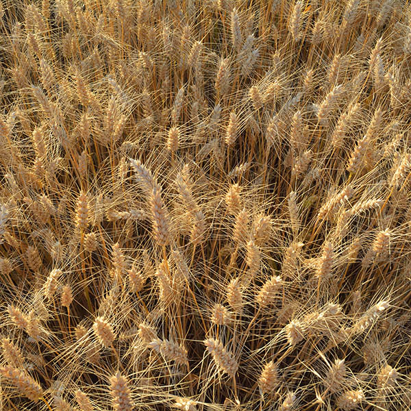 wheat_field_square Noodles 101